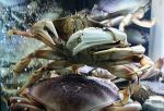 Live Dungeness Crab in  at Ocean Bleu Seafoods